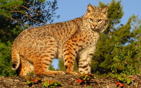 Picture predator, lynx, wild cat