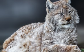 Picture background, portrait, wild cat, Lynx