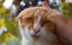 Picture cat, eyes, cat, look, face, leaves, nature, background, hand, portrait, fold, red, weasel, the owner, ...