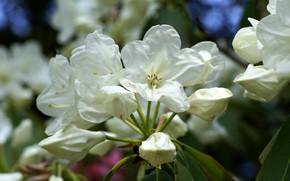 Picture white, macro, rhododendron, Azalea