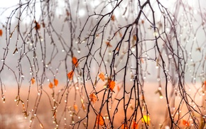 Wallpaper autumn, leaves, drops, branches