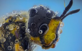 Picture drops, bee, insect