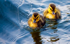 Picture water, duck, a couple, ducklings, Chicks