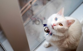 Picture cat, white, eyes, cat, look, glass, face, pose, reflection, background, light, fluffy, window, sill, sitting, …