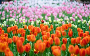 Picture flowers, tulips, a lot