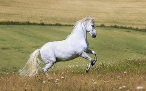 Picture white, summer, flowers, horse, horse, stallion, meadow, space, grace, profile
