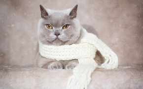Picture cat, look, background, portrait, scarf, British Shorthair