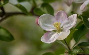 Picture flower, macro, Apple, flowering
