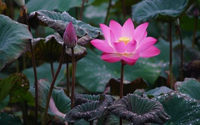 Picture flower, leaves, drops, flowers, nature, green, Rosa, background, pink, petals, Bud, Lotus, beautiful, Lotus, pond, …