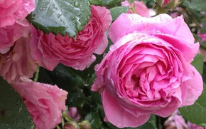 Picture pink roses, the rose Bush, drops