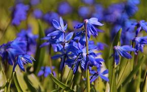 Picture macro, flowers, nature, mood, beauty, plants, garden, snowdrops, flowering, Scilla, flora, Estonia, Scylla