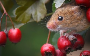 Picture berries, mouse, muzzle, rodent, hawthorn