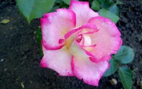 Wallpaper pink, rose, Flowers