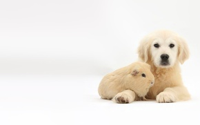 Picture animals, photo, puppy, Guinea pig, Mark Taylor