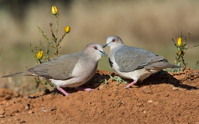 Picture birds, pair, pigeons, small fronted leptotila
