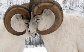 Picture Canada, horns, tournament, Yukon, sheep dalla, tonkonogi RAM