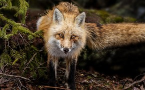 Picture eyes, look, wool, muzzle, Fox
