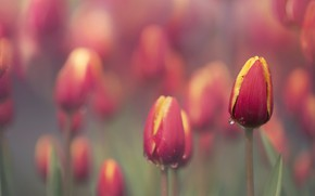 Wallpaper summer, flowers, tulips