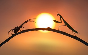 Picture spider, mantis, silhouettes