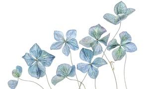 Picture flowers, hydrangea, herbarium