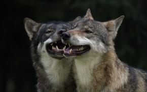Picture predators, pair, wolves