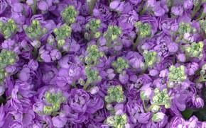 Picture purple, flowers, buds, Mattiola