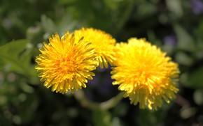 Picture the sun, flowers, dandelion, dandelions, .yellow flower