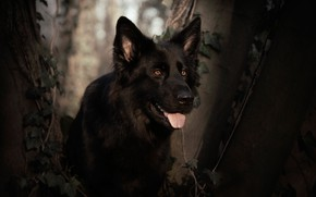 Picture look, face, dog, German shepherd