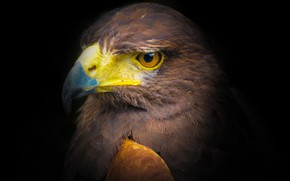 Picture bird, portrait, predator, black background