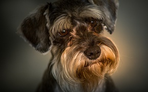 Picture the miniature Schnauzer, portrait, face, look, dog