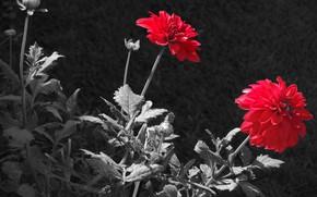 Picture nature, petals, Dahlia, retouching