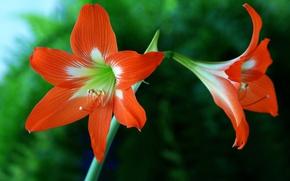 Picture flower, macro, nature, petals, Amaryllis