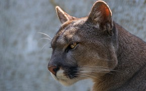 Picture eyes, look, face, cats, close-up, grey, background, portrait, beauty, wild cats, Puma, wildlife, bokeh, Cougar
