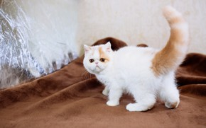 Picture cat, white, kitty, tail, fabric, plaid, kitty, face, brown, extreme