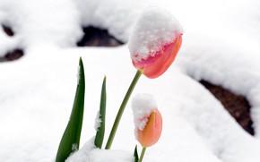 Picture snow, Tulip, spring