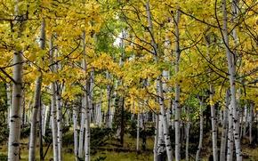 Picture autumn, trees, Colorado, USA, grove, aspen