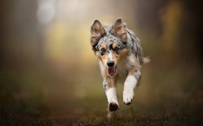 Picture joy, dog, puppy, walk, bokeh, Australian shepherd, Aussie