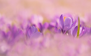 Picture lilac, spring, crocuses