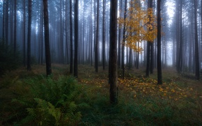 Picture autumn, forest, trees, nature, tree, foliage, haze, maple, fern