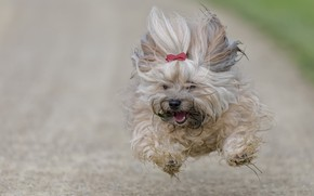 Picture dog, running, flight, The Havanese