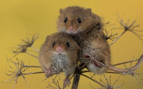 Picture macro, background, a couple, mouse, rodents, Harvest mouse, Mouse-Malutka