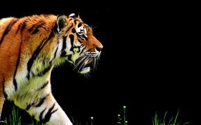 Picture cat, nature, tiger, predator