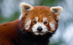 Picture wool, muzzle, red Panda