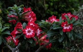 Picture flowers, pink, flowering, adenium, desert rose