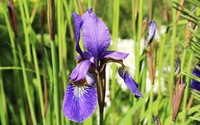 Picture iris, flower, greens