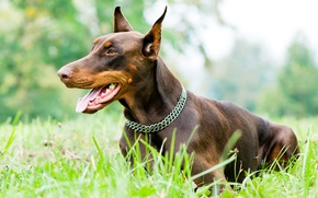 Picture grass, mouth, collar, female, yazye, Osh, Dobermans, brown Podpaly