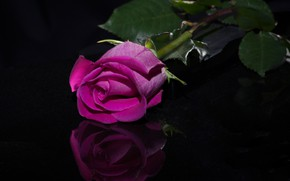 Picture reflection, rose, Bud, black background