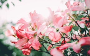 Picture flowers, petals, pink, dogwood