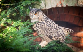 Picture owl, bird, spruce, feathers, color