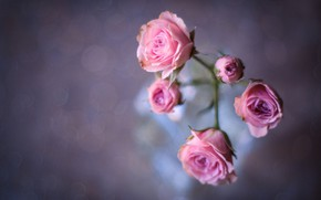 Picture background, rose, buds